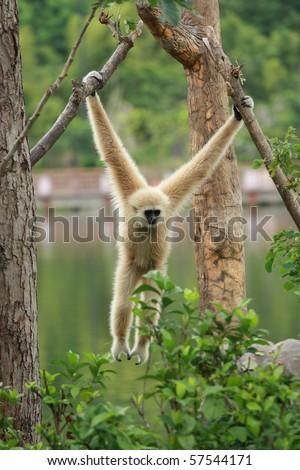 Brown gibbon hanging on tree - stock photo