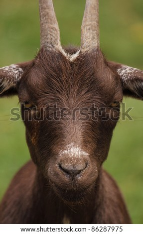 brown goat - stock photo