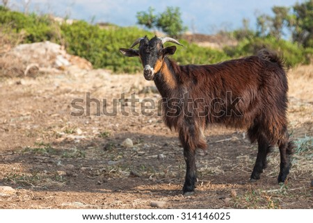 Brown goat in the mountains - stock photo