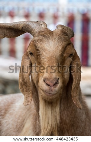 Brown Goat smiling