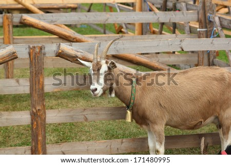 brown goat with bell - stock photo