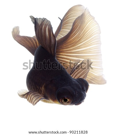 Brown Goldfish. White background. Isolated. Without shade.