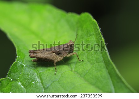 Brown grasshopper is on green leaf - stock photo