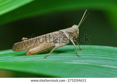 brown grasshopper on leaf - stock photo