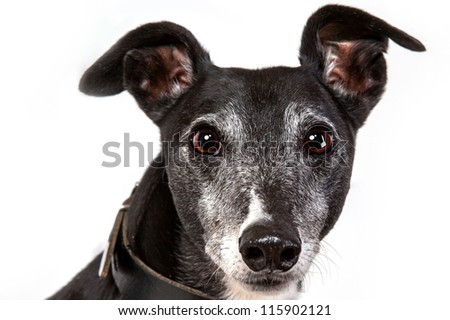Brown greyhound looking into camera with his ears pricked up and wide eyes. Shallow depth of field blurs nose and ears while the eyes are bright and crisp. Dog head shot on a white background. - stock photo