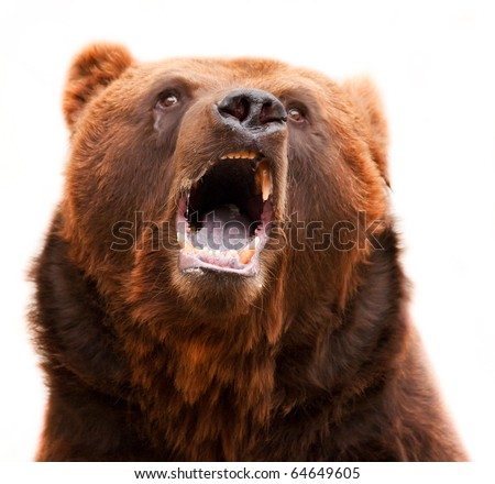 Brown grizzly bear I widely open mouth dirty teeth, violet tongue and a wet nose