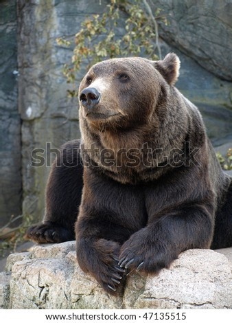 brown grizzly bear sitting on a rock - stock photo