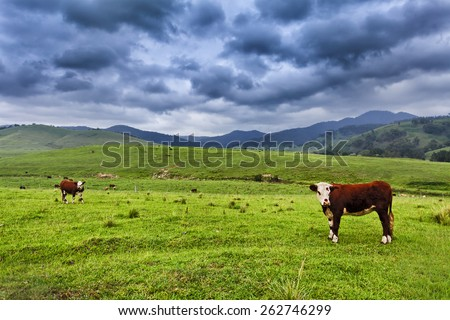 brown growing steers at green grazing pasture in rural australian agricultural estate as a cattle farm - stock photo