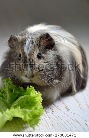 brown guinea pig and salad leaf - stock photo
