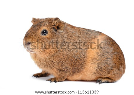 Brown guinea pig isolated on white - stock photo