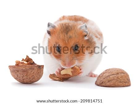 Brown hamster eating walnut on white - stock photo