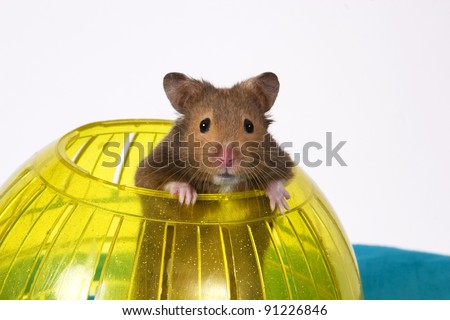 Brown Hamster Popping out of yellow Ball looking at the camera / This is a Brown Hamster pooping his head and shoulders out of a Yellow Ball. The Blue bottom adds depth and a touch of Spring.
