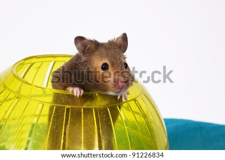 Brown Hamster Popping out of yellow Ball / This is a Brown Hamster pooping his head and shoulders out of a Yellow Ball. The Blue bottom adds depth and a touch of Spring. - stock photo