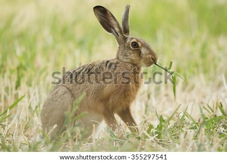 Brown hare, feeding on the field