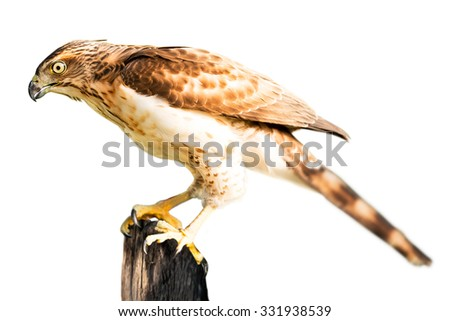 Brown hawk hold on stub isolated in white background - stock photo