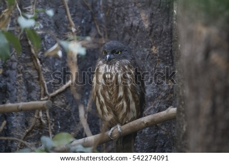 Brown Hawk-owl (Ninox scutulata) spotted outdoors in the wild