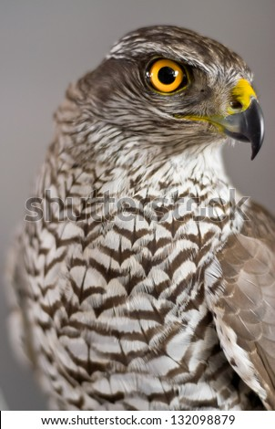 Brown hawk portraits on gray background - stock photo