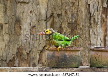 Brown-headed barbet bird bathing in Minneriya , Sri Lanka ; specie Megalaima zeylanica   - stock photo