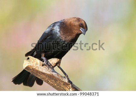 Brown headed cowbird perched on a tree limb. - stock photo