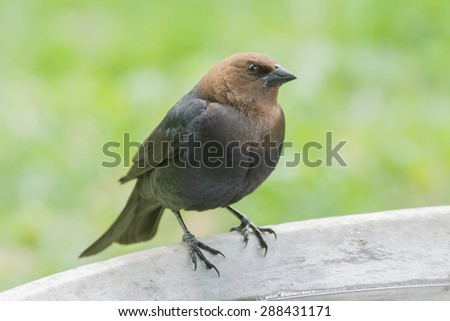 Brown headed cowbird sitting on a bird bath. - stock photo