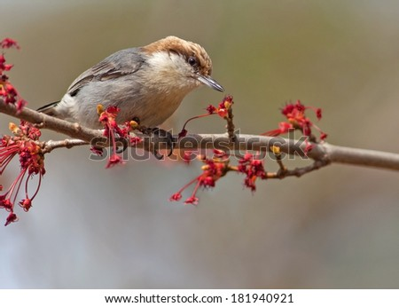 Brown-headed Nuthatch (Sitta pusilla)  - stock photo