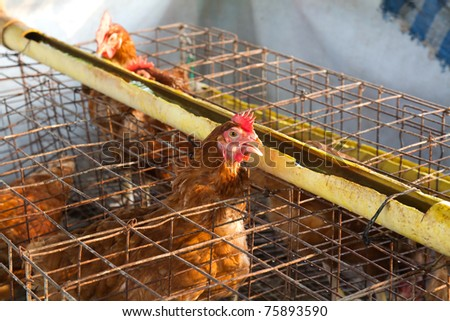 Brown hen farm. closeup Useful for design-works. - stock photo