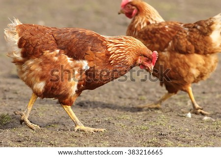brown hen looking for food in farm yard - stock photo