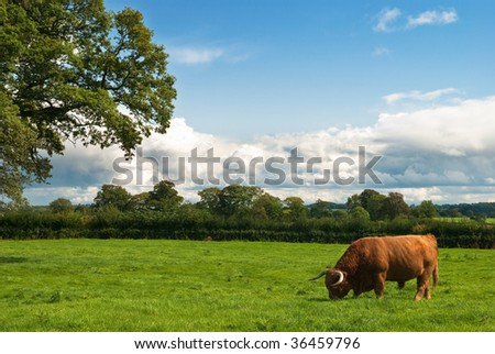 Brown highland bull in summer field - stock photo