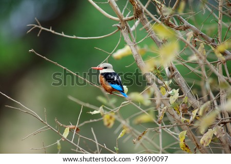 Brown hooded kingfisher upon a branch. Tanzania, Africa. - stock photo