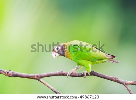 Brown-hooded Parrot in a branch. - stock photo