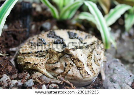 Brown horned frog submerged in wet rocks - stock photo