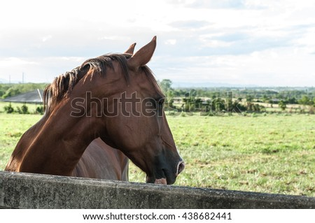 Brown horse Arabian chestnut gelding, head shot on blue sky background ,close up - stock photo