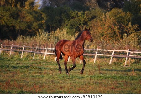 Brown horse cantering at the field near the fence - stock photo