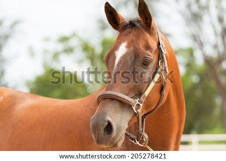 Brown horse close up
