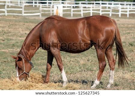 brown horse eat ranch scene - stock photo