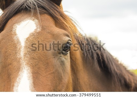 Brown horse face