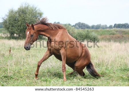 Brown horse getting up from the ground - stock photo