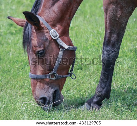 Brown horse grazing grass macro close up