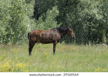 brown horse grazing in meadow - stock photo