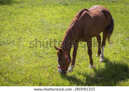 Brown horse grazing in the meadow - stock photo