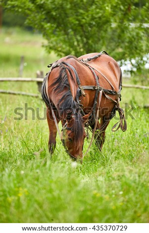 Brown horse grazing on a pasture with harness on - stock photo