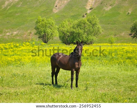 Brown horse grazing on the farm field outdoor  - stock photo