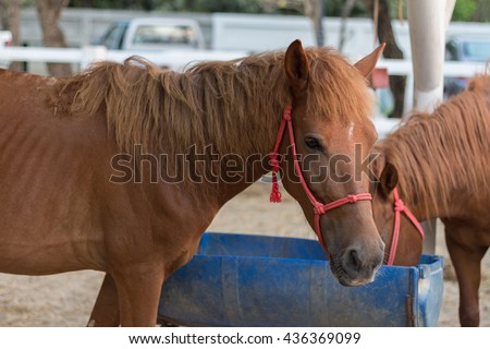 brown horse. horse in the paddock and bent over eating from rubber feed skip - stock photo