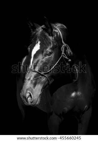 brown horse in a halter and a dark mane and a white blaze on his head on a black background