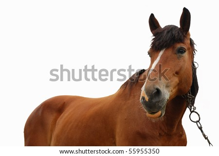 brown horse isolated on a white background - stock photo
