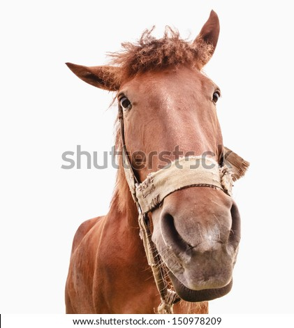 Brown horse isolated on white background photographed a wide angle lens - stock photo
