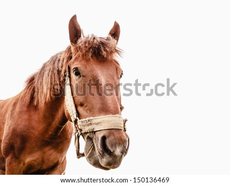 Brown horse isolated on white background photographed a wide angle lens / Funny closeup portrait of a horse - stock photo