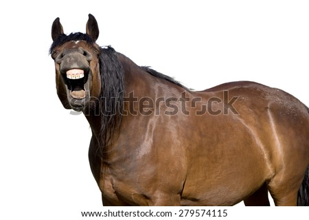 Brown horse laughing and smiling on isolated white background