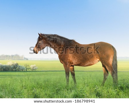 Brown  horse on grass meadow  - stock photo