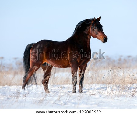 Brown horse stands in a field in winter. - stock photo
